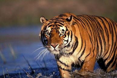 India's Disappearing Tigers