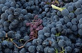 Grape Glut