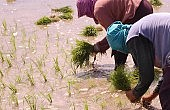 Frustrating Philippines Rice Crisis