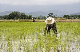 How Rice is Causing a Crisis in Thailand