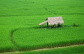 Why Is China Buying One Million Tons of Rice from Thailand?