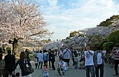Hanami: Cherry Blossoms and Revelry in Japan