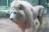 White Lions: Bangkok Men Charged with Illegal Wildlife Trading