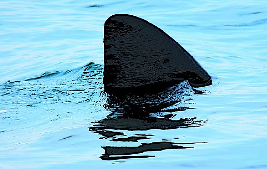 shark extinction shark finning essay Globally, shark finning has become a common practice, according to  of finning,  insist on full protection for critically endangered sharks and.