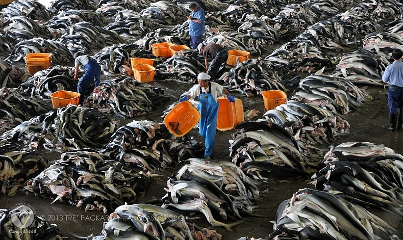 Workers among piles of blue sharks in JapanImage Credit: Tre' Packard, PangeaSeed.org