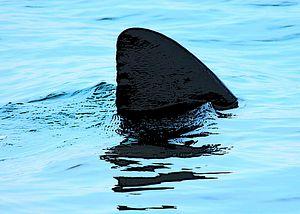 Shark Finning: Appetite for Extinction?