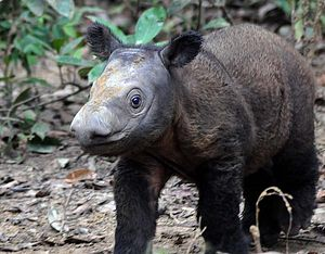 Thai Fossil Confirmed as New Species of Ancient Rhinoceros