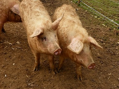 Food Safety an Issue as China Firm Buys US Pork Producer