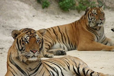 Man vs. Wild: Tiger Tug-of-War at Chinese Zoo Invokes Ire