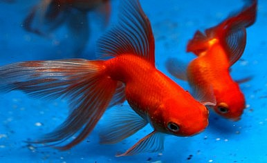 Goldfish: From Tang Dynasty Ponds to 21st Century Aquariums