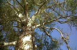 Aussie Scientists: Money <em>Does</em> Grow On (Eucalyptus) Trees