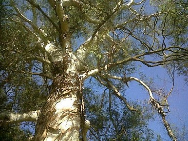 Aussie Scientists: Money Does Grow On (Eucalyptus) Trees