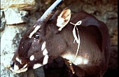 First Wild Saola Sighting in 15 Years Gives Conservationists Hope