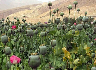 Record-High Afghan Opium Harvest Ahead of NATO Withdrawal