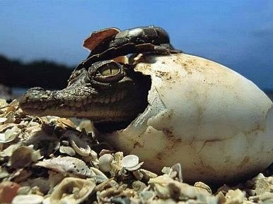 Crocodiles Could Be Cash Cows in Cambodia