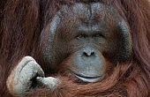 Indonesian Men Freed after Allegedly Killing, Eating Orangutan