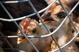 More than a Dozen Quarantined after Hong Kong Bird Flu Scare