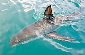 "Sharks ""Tweet"" Their Location to Aussie Beachgoers"