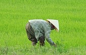 Vietnamese Rice Farmers Abandon Their Fields