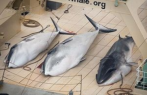 Japanese Whaling: Sea Shepherd Chases, Australia and New Zealand Litigate