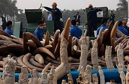Chinese Officials Pulverize More Than 6 Tons of Illegal Ivory