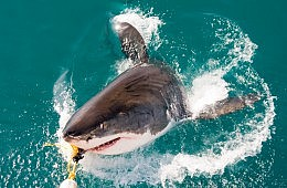 Western Australia Shark Culling: Petitions and Protests After First Kill