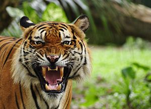 Man-Eating Tigers Terrorize Northern India, Leaving 10 Dead