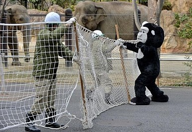 """Ueno Zookeepers Catch """"Escaped Gorilla"""" During Safety Drill"""