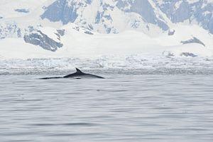Australia's Whaling Victory