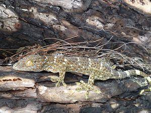 Hunting the Tokay Gecko