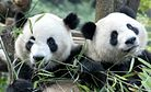 China Postpones Panda Diplomacy With Malaysia