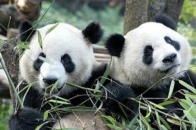 China Postpones Panda Diplomacy With Malaysia