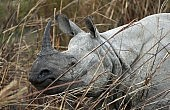 India: Dehorning the Rhino