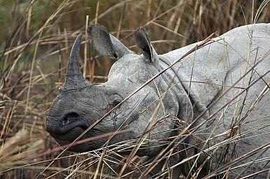 India: Dehorning the Rhino