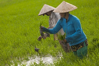 Why Can't Vietnam Grow Better Rice?