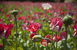 Afghanistan Poppy Cultivation at All-Time High