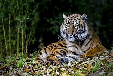 Spare a Thought for the Tiger of East Asia, It's Almost Gone