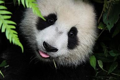 China's Panda Diplomacy