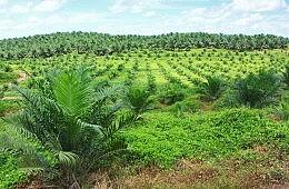 Indonesia's Biofuels Push