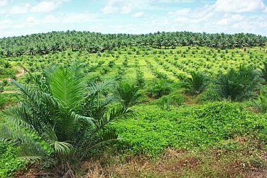 Indonesia's Biofuels Push