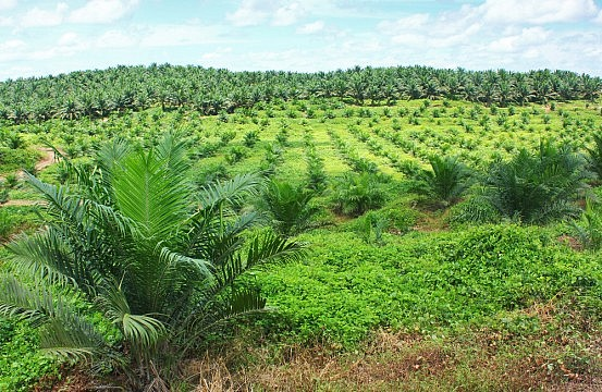 oil palm industry in indonesia environmental sciences essay Palm oil industry gives main contribution for economic development in  oil palm industry in indonesia environmental sciences essay styrene divinylbenzene copolymer synthesis essay machiavelli virtue essays dissertation synopsis pdf train go sorry essay stimmentausch beispiel.