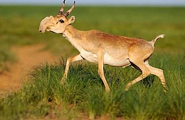 What's Killing Kazakhstan's Antelope?