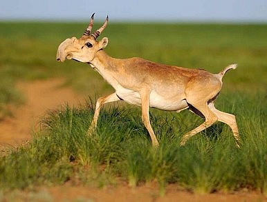 Did Climate Change Kill 220,000 Antelope in Kazakhstan?
