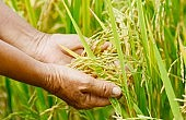 'New' Rice Scheme Reveals Thailand Junta's Dearth of Ideas