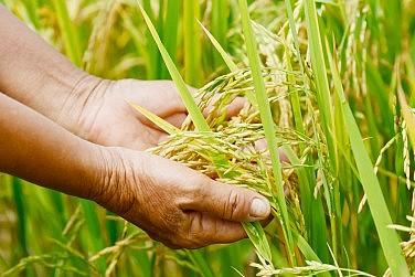 'New' Rice Scheme Reveals Thailand Junta's Dearth of Ideas