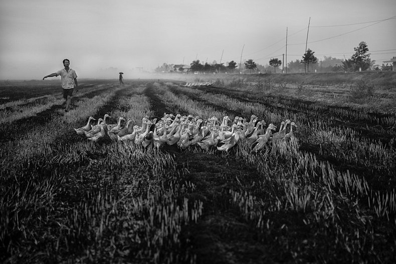 A farmer corrals his flock of ducks in the early morning on the outskirts of Can Tho. Photo by Gareth Bright.
