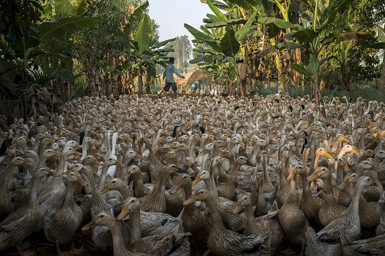 Roughly 2000 ducks wait to be injected with antibiotics. With animals living in such high concentrations, injections are needed regularly to prevent infection. Photo by Luc Forsyth.