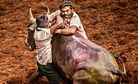 The Rights and Traditions Rodeo: India's Jallikattu Ban