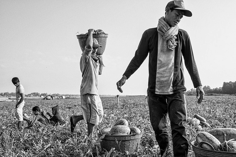 Workers harvest watermelons on the island of Peam Reang. As erosion strips land from the banks of the Mekong, some of the sand washes up on the coast of the island, creating new farmland ideal for watermelon growing. Photo by Gareth Bright.