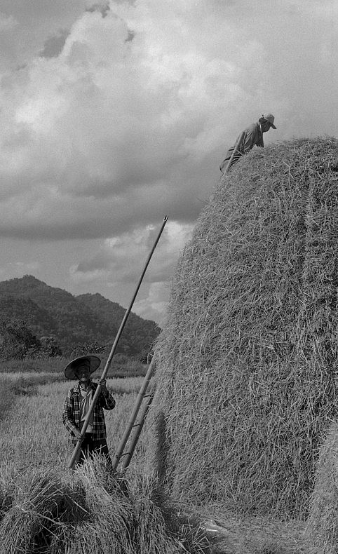 Shan farmers stacking hay between the front lines Shan State 12_2015
